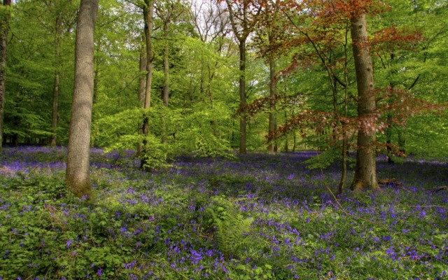bluebell-wood-1440-900-4054
