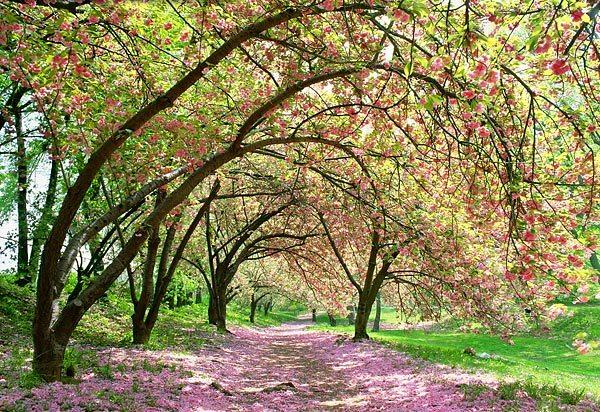 Printemps soleil allée d'arbres en fleurs