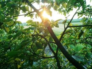 coucher du soleil depuis un cerisier en juillet en Alsace