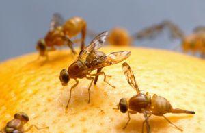 infestation de mouches à fruit